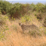 cheetah-hunting-004
