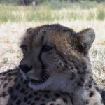 cheetah-hunting-005