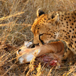 cheetah-hunting-006