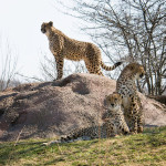cheetah-hunting-008