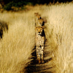 cheetah-hunting-009
