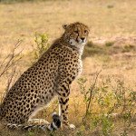 cheetah-hunting-012
