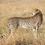cheetah-hunting-013