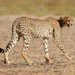 cheetah-hunting-015