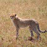 cheetah-hunting-018