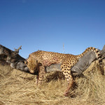 hunting-cheetah-018