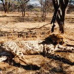 hunting-cheetah-020