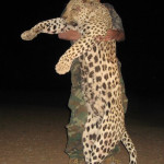 hunting-leopard-002