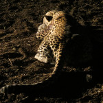 hunting-leopard-37