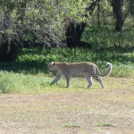 leopard-hunting-003