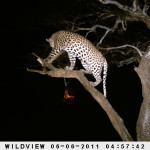 leopard-hunting-004