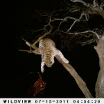 leopard-hunting-009