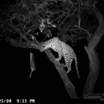 leopard-hunting-015