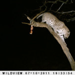 leopard-hunting-020