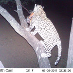 leopard-hunting-022