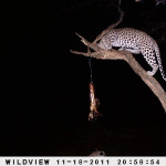 leopard-hunting-026