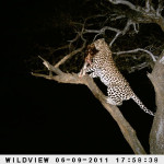 leopard-hunting-028