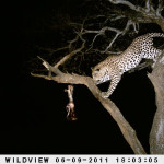 leopard-hunting-032