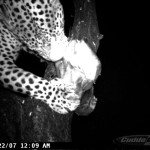 leopard-hunting-033