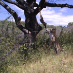 leopard-hunting-040