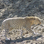 leopard-hunting-042