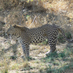 leopard-hunting-043