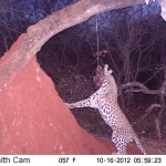 leopard-hunting-051