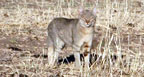 Hunting Africa African Wildcat